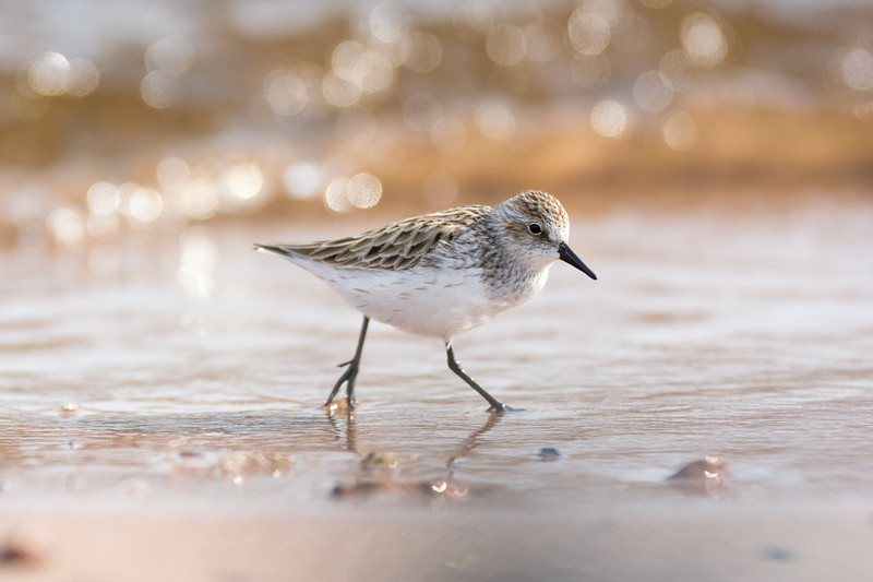 A least sandpiper scampers along the beach in the Duluth-Superior Harbor.<br /> <br /> Park Point, Duluth, Minnesota