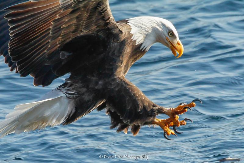 DF.5309 - Bald eagle fishing for  kokanee salmon, Coeur d'Alene, ID.