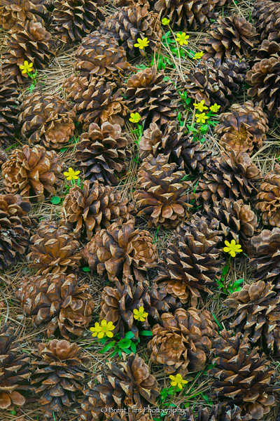 S.5180 - Buttercups and ponderosa pine cones, Bonner County, ID.