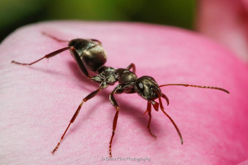 DF.5149 - carpenter ant on peony, Bonner County, ID.