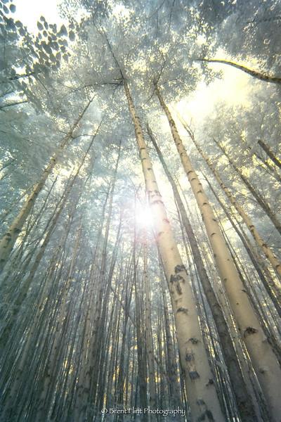 DF.5180 - paper birch in infrared, University of Idaho, Sandpoint, ID.