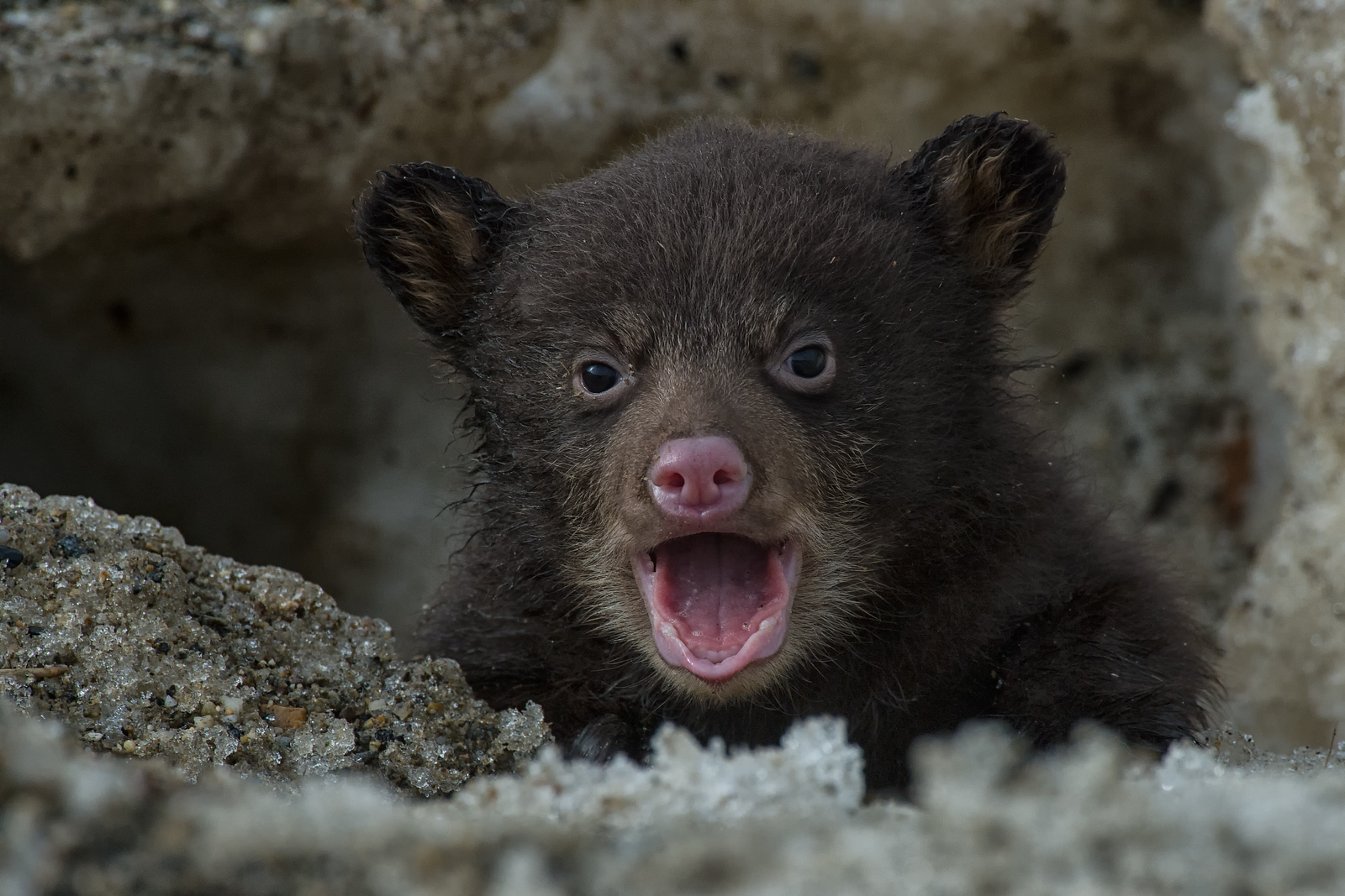 Black Bear at her den with baby new-born bear cub. Bear cub takes its first visit outside the den. Yukon, Canada.