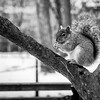 The Squirrel in Washington Square Park, NYC