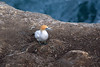 Australian Gannet - upon its nest, adjacent the steep cliff edge at Otakamiro Point.