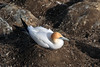 Nesting Australian Gannet - also called the Pacific Gannet - distrubuted along the coastal waters of eastern, southern, and southwestern Australia (includes Tasmania), and New Zealand.