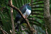 Kereru or Wood Pigeon - they are one of the largest pigeons on earth, weighing up to about 20 oz. (800 gm) and measuring about 20 in. (50 cm) long their plumage upperparts are iridescent dark bluish-green, with bronzeand purple heighlights, and a white breast.