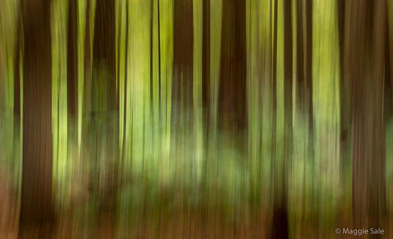 Abstract of the Redwoods Forest near Rotorua