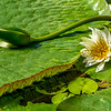 Giant S. American water lilies