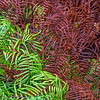Ferns changing colour (autumn in March!) at Te Puia
