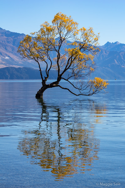 The famous Wanaka Tree on the shores of Lake Wanaka in the town of the same name. Sometimes the water is at a lower level and the tree is on a pebble island - better this way!
