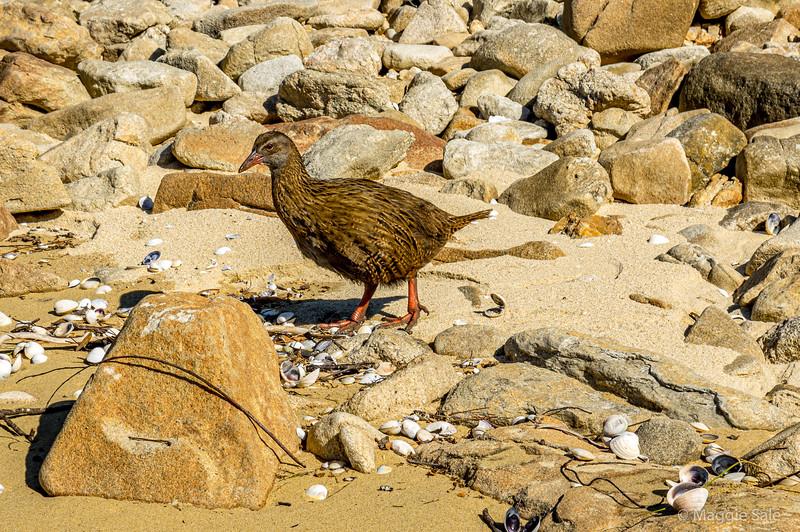 A Weka -  flightless bird, endemic to NZ.