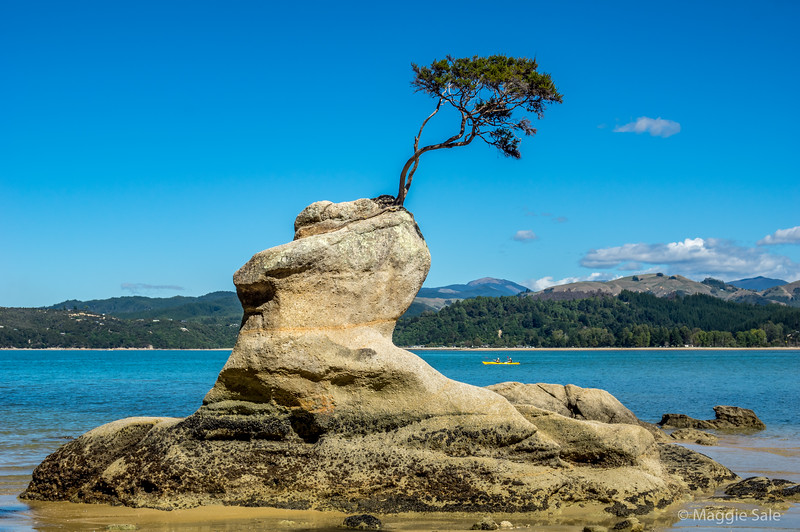 Walk along the coastal path in Abel Tasman NP. How does this tree survive?! We could only reach it as the tide went down