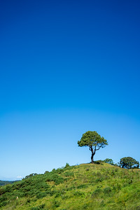 Lone Tree | Hahei, NZ