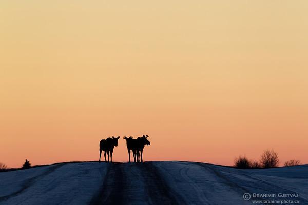 Silhouette of moose on a rural road. Wolverine PFRA community pasture, Saskatchewan
