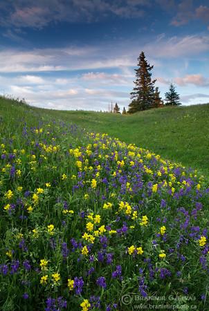 Prairie with buffalo bean and little larkspur, Cypress Hills