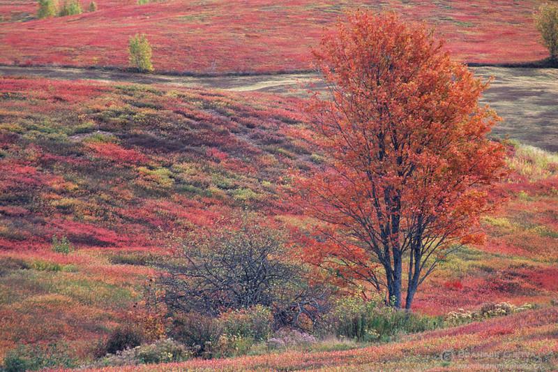 Blueberry fields in autumn. Oxford, Nova Scotia