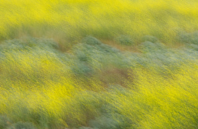 Mustard Grass with blur effect, Irvine Ca.