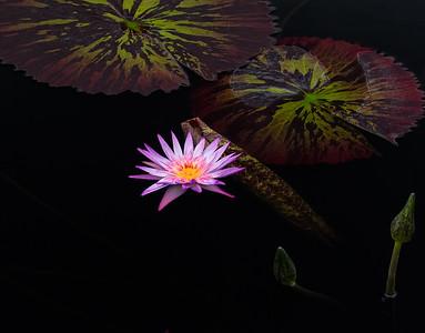 Purple, Waterlily, Horizontal, Longwood Gardens 08