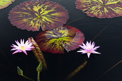 Two Purple Waterlilies, Longwood Gardens
