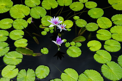 Waterlilies, Purple, Horizontal Longwood Gardens 04