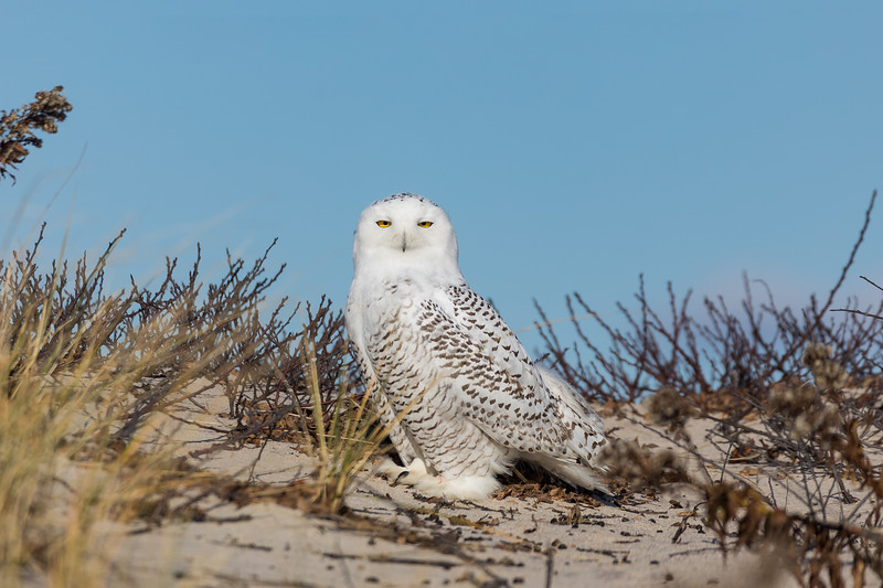West Hampton Snow Owl