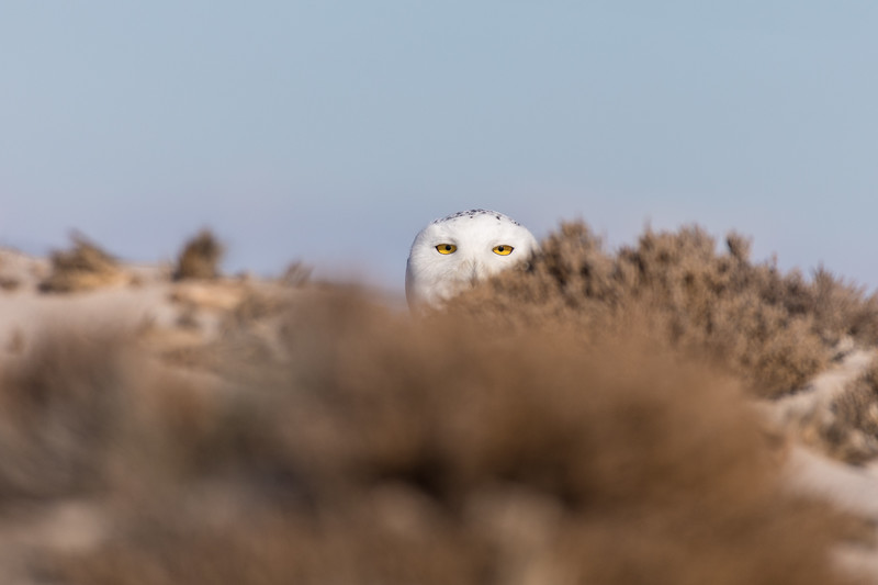 Hampton Owl