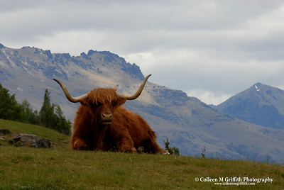 Scottish Highland Cow In New Zealand © 2007 Colleen M. Griffith. All Rights Reserved.  This material may not be published, broadcast, modified, or redistributed in any way without written agreement with the creator.  This image is registered with the US Copyright Office. www.colleenmgriffith.com www.facebook.com/colleen.griffith