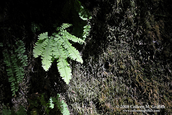 """Fern at Fern Canyon<br /> © 2008 Colleen M. Griffith. All Rights Reserved.  This material may not be published, broadcast, modified, or redistributed in any way without written agreement with the creator.  This image is registered with the US Copyright Office.<br />  <a href=""""http://www.colleenmgriffith.com"""">http://www.colleenmgriffith.com</a><br />  <a href=""""http://www.facebook.com/colleen.griffith"""">http://www.facebook.com/colleen.griffith</a><br /> <br /> Redwood National Park, CA"""