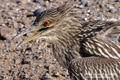 Juvenile Night Heron (2nd year) © 2008 Colleen M. Griffith. All Rights Reserved.  This material may not be published, broadcast, modified, or redistributed in any way without written agreement with the creator.  This image is registered with the US Copyright Office. www.colleenmgriffith.com www.facebook.com/colleen.griffith