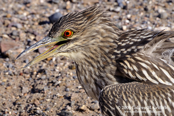 "Juvenile Night Heron (2nd year)<br /> © 2008 Colleen M. Griffith. All Rights Reserved.  This material may not be published, broadcast, modified, or redistributed in any way without written agreement with the creator.  This image is registered with the US Copyright Office.<br />  <a href=""http://www.colleenmgriffith.com"">http://www.colleenmgriffith.com</a><br />  <a href=""http://www.facebook.com/colleen.griffith"">http://www.facebook.com/colleen.griffith</a>"