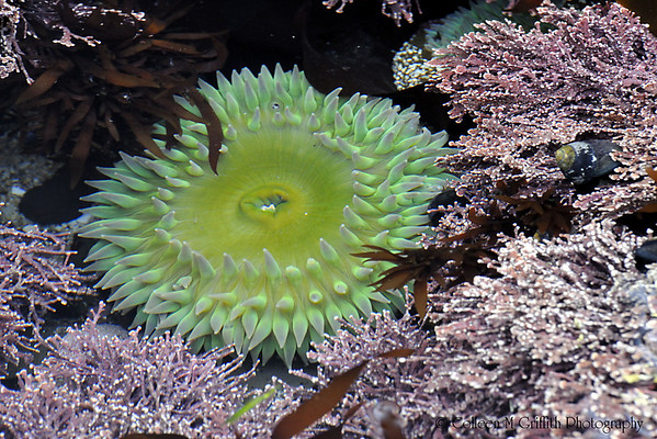 "Green Sea Anemone<br /> © 2008 Colleen M. Griffith. All Rights Reserved.  This material may not be published, broadcast, modified, or redistributed in any way without written agreement with the creator.  This image is registered with the US Copyright Office.<br />  <a href=""http://www.colleenmgriffith.com"">http://www.colleenmgriffith.com</a><br />  <a href=""http://www.facebook.com/colleen.griffith"">http://www.facebook.com/colleen.griffith</a><br /> <br /> California Tidal Pools At Low Tide"