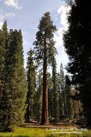 "Giant Sequoia National Park, CA<br /> © 2008 Colleen M. Griffith. All Rights Reserved.  This material may not be published, broadcast, modified, or redistributed in any way without written agreement with the creator.  This image is registered with the US Copyright Office.<br />  <a href=""http://www.colleenmgriffith.com"">http://www.colleenmgriffith.com</a><br />  <a href=""http://www.facebook.com/colleen.griffith"">http://www.facebook.com/colleen.griffith</a>"