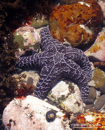 "Purple Starfish<br /> © 2008 Colleen M. Griffith. All Rights Reserved.  This material may not be published, broadcast, modified, or redistributed in any way without written agreement with the creator.  This image is registered with the US Copyright Office. <br />  <a href=""http://www.colleenmgriffith.com"">http://www.colleenmgriffith.com</a><br />  <a href=""http://www.facebook.com/colleen.griffith"">http://www.facebook.com/colleen.griffith</a><br /> <br /> California Tidal Pools At Low Tide"