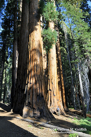 "Sequoia trees at Giant Sequoia National Park<br /> © 2008 Colleen M. Griffith. All Rights Reserved.  This material may not be published, broadcast, modified, or redistributed in any way without written agreement with the creator.  This image is registered with the US Copyright Office.<br />  <a href=""http://www.colleenmgriffith.com"">http://www.colleenmgriffith.com</a><br />  <a href=""http://www.facebook.com/colleen.griffith"">http://www.facebook.com/colleen.griffith</a>"