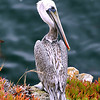 "Pelican Portrait <br /> © 2008 Colleen M. Griffith. All Rights Reserved.  This material may not be published, broadcast, modified, or redistributed in any way without written agreement with the creator.  This image is registered with the US Copyright Office.<br />  <a href=""http://www.colleenmgriffith.com"">http://www.colleenmgriffith.com</a><br />  <a href=""http://www.facebook.com/colleen.griffith"">http://www.facebook.com/colleen.griffith</a>"