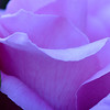 "Pink Rose Petals<br /> © 2009 Colleen M. Griffith. All Rights Reserved.  This material may not be published, broadcast, modified, or redistributed in any way without written agreement with the creator.  This image is registered with the US Copyright Office. <br />  <a href=""http://www.colleenmgriffith.com"">http://www.colleenmgriffith.com</a><br />  <a href=""http://www.facebook.com/colleen.griffith"">http://www.facebook.com/colleen.griffith</a>"