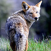 "San Francisco Coyote<br /> © 2009 Colleen M. Griffith. All Rights Reserved.  This material may not be published, broadcast, modified, or redistributed in any way without written agreement with the creator.  This image is registered with the US Copyright Office.<br />  <a href=""http://www.colleenmgriffith.com"">http://www.colleenmgriffith.com</a><br />  <a href=""http://www.facebook.com/colleen.griffith"">http://www.facebook.com/colleen.griffith</a>  <br /> <br /> I came across this wild coyote as I was hiking on a path in a wooded area on the peninsula in San Francisco, CA.  It's amazing the wildlife you find in the San Francisco Bay area!"