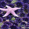 """Pink Starfish and Sea Urchins<br /> © 2009 Colleen M. Griffith. All Rights Reserved.  This material may not be published, broadcast, modified, or redistributed in any way without written agreement with the creator.  This image is registered with the US Copyright Office.<br />  <a href=""""http://www.colleenmgriffith.com"""">http://www.colleenmgriffith.com</a><br />  <a href=""""http://www.facebook.com/colleen.griffith"""">http://www.facebook.com/colleen.griffith</a><br /> <br /> California Tidal Pools At Low Tide"""