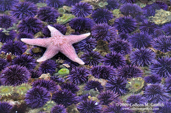 "In A Sea Of Urchins<br /> © 2009 Colleen M. Griffith. All Rights Reserved.  This material may not be published, broadcast, modified, or redistributed in any way without written agreement with the creator.  This image is registered with the US Copyright Office.<br />  <a href=""http://www.colleenmgriffith.com"">http://www.colleenmgriffith.com</a><br />  <a href=""http://www.facebook.com/colleen.griffith"">http://www.facebook.com/colleen.griffith</a>"
