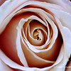 "Pink Rose<br /> © 2009 Colleen M. Griffith. All Rights Reserved.  This material may not be published, broadcast, modified, or redistributed in any way without written agreement with the creator.  This image is registered with the US Copyright Office.<br />  <a href=""http://www.colleenmgriffith.com"">http://www.colleenmgriffith.com</a><br />  <a href=""http://www.facebook.com/colleen.griffith"">http://www.facebook.com/colleen.griffith</a>"