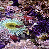 "Green Anemone and Urchins<br /> © 2009 Colleen M. Griffith. All Rights Reserved.  This material may not be published, broadcast, modified, or redistributed in any way without written agreement with the creator.  This image is registered with the US Copyright Office.<br /> <br />  <a href=""http://www.colleenmgriffith.com"">http://www.colleenmgriffith.com</a><br />  <a href=""http://www.facebook.com/colleen.griffith"">http://www.facebook.com/colleen.griffith</a>"
