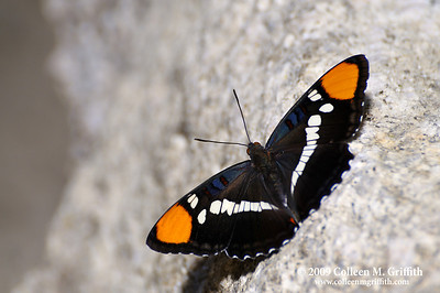 Butterfly © 2009 Colleen M. Griffith. All Rights Reserved.  This material may not be published, broadcast, modified, or redistributed in any way without written agreement with the creator.  This image is registered with the US Copyright Office.  Butterfly at the Hetch Hetchy Damn, California www.colleenmgriffith.com www.facebook.com/colleen.griffith
