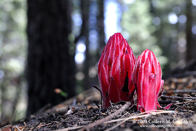 Funky Flora Near Glacier Point, Yosemite California © 2009 Colleen M. Griffith. All Rights Reserved.  This material may not be published, broadcast, modified, or redistributed in any way without written agreement with the creator.  This image is registered with the US Copyright Office.  www.colleenmgriffith.com www.facebook.com/colleen.griffith
