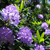 "Purple Rhododendron<br /> © 2009 Colleen M. Griffith. All Rights Reserved.  This material may not be published, broadcast, modified, or redistributed in any way without written agreement with the creator.  This image is registered with the US Copyright Office. <br />  <a href=""http://www.colleenmgriffith.com"">http://www.colleenmgriffith.com</a><br />  <a href=""http://www.facebook.com/colleen.griffith"">http://www.facebook.com/colleen.griffith</a>"