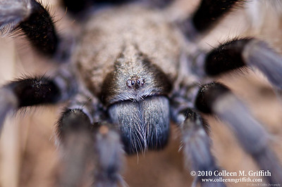 Tarantula Close Up ©  2010 Colleen M. Griffith. All Rights Reserved.  This material may not be published, broadcast, modified, or redistributed in any way without written agreement with the creator.  This image is registered with the US Copyright Office. www.colleenmgriffith.com www.facebook.com/colleen.griffith  This is a photo of a wild tarantula that I found walking the trails of Mount Diablo State Park in California. Every year the mature male tarantulas come out of their burrows looking for love.  Last night, we found a half dozen tarantulas on the prowl in a short 3 hour hike.  It's so exciting when you find these very large spiders - and they all react differently to you too, which adds to the excitement!  Posted 12 September 2010. You can see a collection of all my Tarantula photos by going to www.colleenmgriffith.com/Galleries/Flora-and-Fauna/Spiders