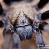"Tarantula Close Up<br /> ©  2010 Colleen M. Griffith. All Rights Reserved.  This material may not be published, broadcast, modified, or redistributed in any way without written agreement with the creator.  This image is registered with the US Copyright Office.<br />  <a href=""http://www.colleenmgriffith.com"">http://www.colleenmgriffith.com</a><br />  <a href=""http://www.facebook.com/colleen.griffith"">http://www.facebook.com/colleen.griffith</a><br /> <br /> This is a photo of a wild tarantula that I found walking the trails of Mount Diablo State Park in California. Every year the mature male tarantulas come out of their burrows looking for love.  Last night, we found a half dozen tarantulas on the prowl in a short 3 hour hike.  It's so exciting when you find these very large spiders - and they all react differently to you too, which adds to the excitement!<br /> <br /> Posted 12 September 2010. You can see a collection of all my Tarantula photos by going to  <a href=""http://www.colleenmgriffith.com/Galleries/Flora-and-Fauna/Spiders"">http://www.colleenmgriffith.com/Galleries/Flora-and-Fauna/Spiders</a>"