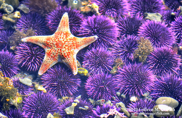 "On A Bed Of Urchins<br /> ©  2010 Colleen M. Griffith. All Rights Reserved.  This material may not be published, broadcast, modified, or redistributed in any way without written agreement with the creator.  This image is registered with the US Copyright Office.<br />  <a href=""http://www.colleenmgriffith.com"">http://www.colleenmgriffith.com</a><br />  <a href=""http://www.facebook.com/colleen.griffith"">http://www.facebook.com/colleen.griffith</a><br /> <br /> Pacific Coast Tidepools"