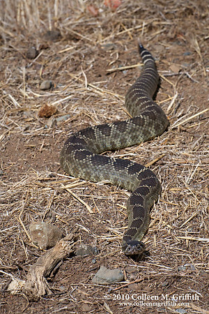 "Wild Pacific Coast Rattlesnake<br /> ©  2010 Colleen M. Griffith. All Rights Reserved.  This material may not be published, broadcast, modified, or redistributed in any way without written agreement with the creator.  This image is registered with the US Copyright Office.<br />  <a href=""http://www.colleenmgriffith.com"">http://www.colleenmgriffith.com</a><br />  <a href=""http://www.facebook.com/colleen.griffith"">http://www.facebook.com/colleen.griffith</a><br /> <br /> This is a photo of a wild Pacific Coast Rattlesnake I found while hiking Mt Diablo over the weekend.  Rattlesnakes, copperheads and cottonmouths are all pit vipers. Pit Vipers are snakes with two pits under their nostrils which detect heat and enable the rattlesnake to hunt warm-blooded prey. The pits are so sensitive that the snake can determine the size of the warm-blooded animal and can even detect prey in complete darkness.  Rattlesnakes have a forked tongue that they flick up and down. The tongue picks microscopic airborne particles and gases from the air and uses the sent to identify food, enemy (humans), mate, or other object or substance.  We saw a lot of wildlife on this trip to Mount Diablo:  two snakes, two tarantulas, two quail, two turkeys.  Seemed that everything came in pairs that day!<br /> <br /> Posted 21 September 2010.  Best viewed in the largest size.  You can see a collection of all my Wildlife photos by going to  <a href=""http://www.colleenmgriffith.com/Galleries/Flora-and-Fauna/Wildlife"">http://www.colleenmgriffith.com/Galleries/Flora-and-Fauna/Wildlife</a>"
