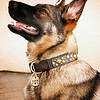 "Sadie Quinevere vom Adler Stein, Paco Collar Photo Shoot<br /> © 2012 Colleen M. Griffith. All Rights Reserved.  This material may not be published, broadcast, modified, or redistributed without written agreement with the creator.  This image is registered with the US Copyright Office.<br />  <a href=""http://www.colleenmgriffith.com"">http://www.colleenmgriffith.com</a><br />  <a href=""http://www.facebook.com/colleen.griffith"">http://www.facebook.com/colleen.griffith</a>"