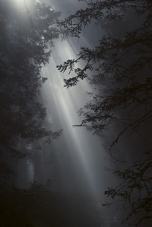 Redwood National State Parks, California -  Light pouring through an ancient redwood forest